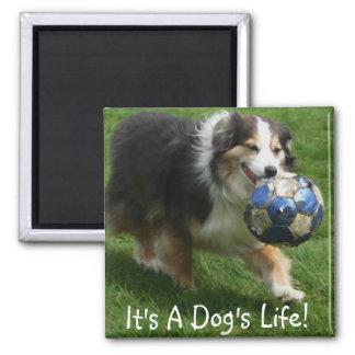 Australian Shepherd has a Ball! Square Magnet