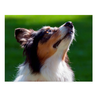 Australian Shepherd looking up Postcard