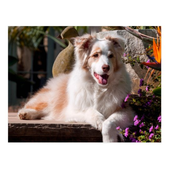 Australian Shepherd lying on garden stairs Postcard