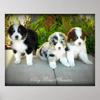 Australian Shepherd Puppies Poster