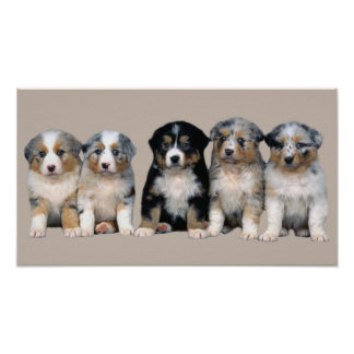 Australian Shepherd Puppies Print