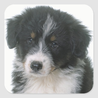 Australian Shepherd Puppy Dog Love Aussie Square Sticker