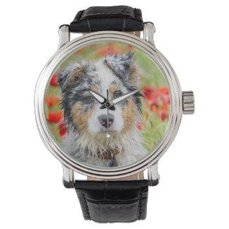 Australian shepherd puppy watch