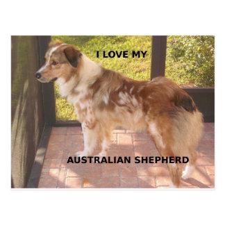Australian_shepherd red merle love w pic postcard