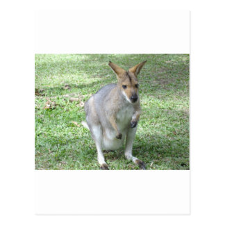 Australian Wallaby Postcard