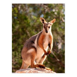 Australian yellow-footed rock wallaby postcard