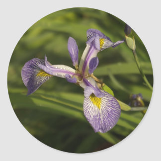 autocollant - iris pourpre