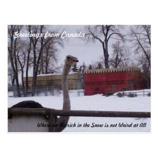 Autruche dans la neige cartes postales