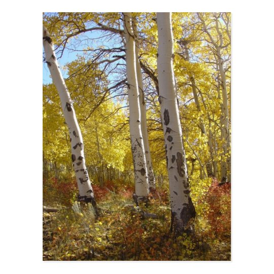 Autumn Aspen Postcard