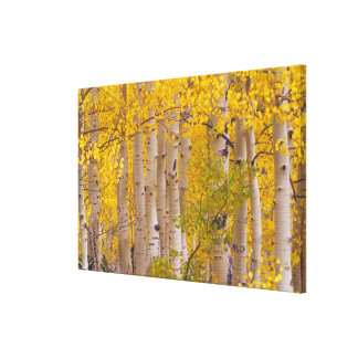 Autumn aspens in Kebler Pass in Colorado. Canvas Print