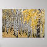 autumn birch forest poster