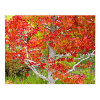 Autumn Liquid Amber Tree Postcard