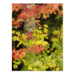 Autumn maple trees and birch tree, White Postcard