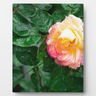 Autumn withered rose with raindrops plaque