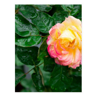 Autumn withered rose with raindrops postcard