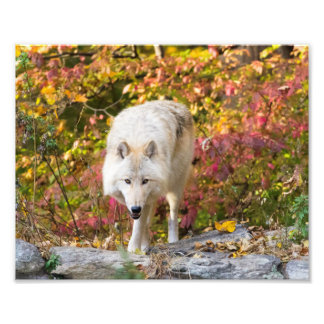 Autumn Wolf Photographic Print