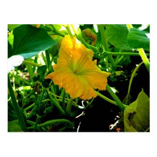 """ Autumn  Yellow Squash Blossom"" Postcard"