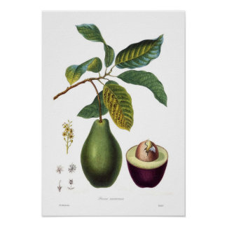 Avocado (Persea americana) Poster