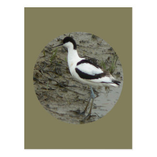 Avocet Stands In Front Of Muddy Background Postcard