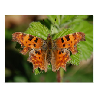 Avon gorge Comma butterfly Postcard
