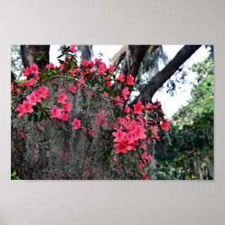 Azaleas and Spanish Moss, South Carolina Poster