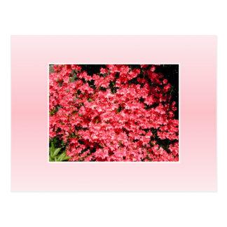 Azaleas. Pretty Pink Flowers. Postcard