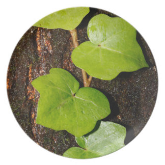 Azores endemic hedera dinner plates