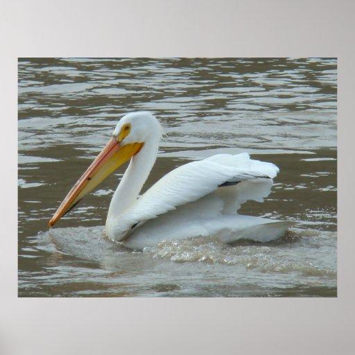 B0014 American White Pelican Print