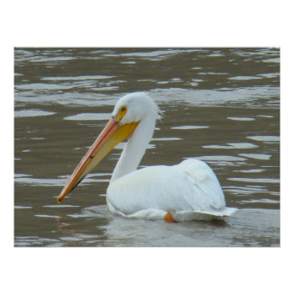 B0015 American White Pelican Poster
