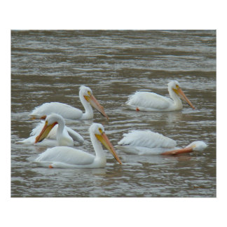 B0016 American White Pelicans Poster