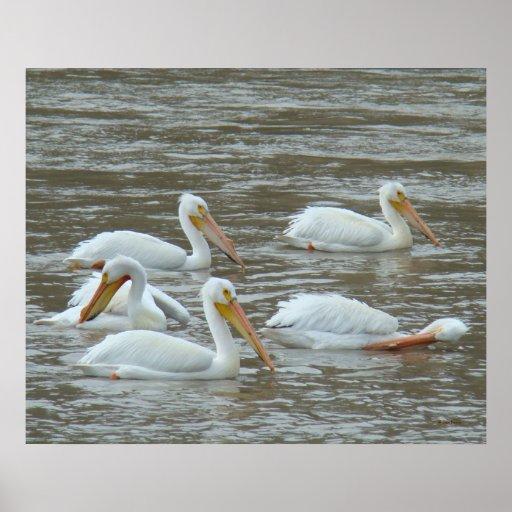 B0016 American White Pelicans Print