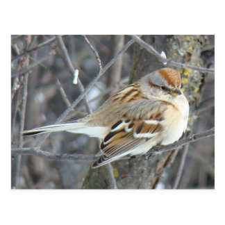 B0024 Common Sparrow Postcard