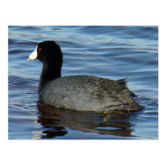 B0027 Common Coot Postcard