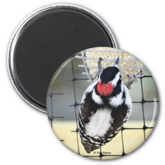 B0053 Downy Woodpecker 2 Inch Round Magnet