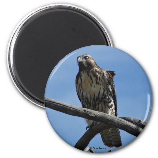 B0054 Swainsons Hawk Magnet
