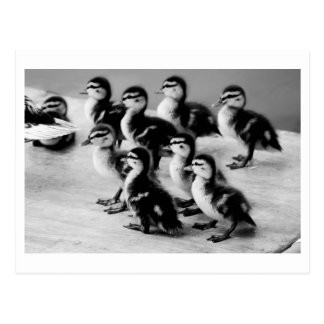 B&W Ducklings Postcard