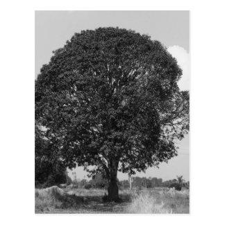 B&W Mango Tree Postcard