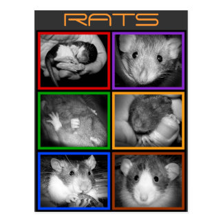 B&W RATS collage Postcard
