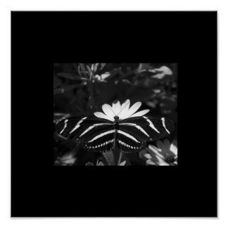 B&W Zebra Butterfly on Black Poster