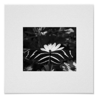 B W Zebra Butterfly on White Poster