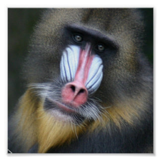 Baboon Face Poster Print