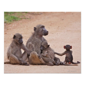 Baboon family sitting on ground poster