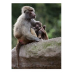 Baboon mother nursing her young postcard