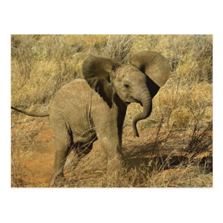Baby African Elephant, Loxodonta Africana, Postcard