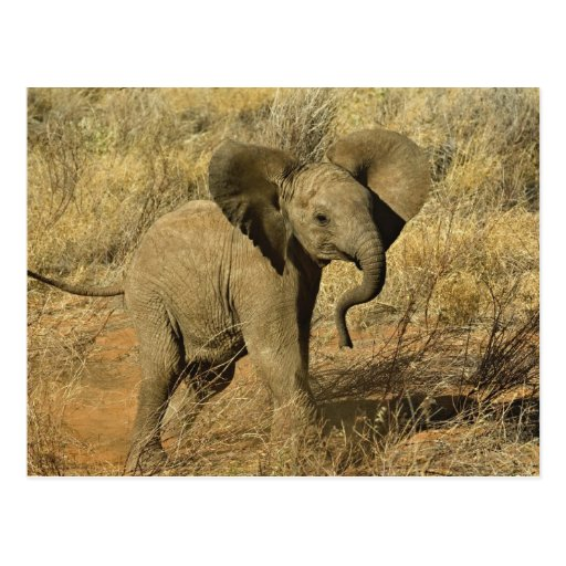 Baby African Elephant, Loxodonta Africana, Postcards