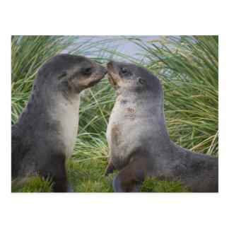Baby Antarctic Fur Seal Arctocephalus Postcard