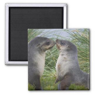 Baby Antarctic Fur Seal Arctocephalus Square Magnet