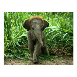 Baby Asian Elephant Postcard