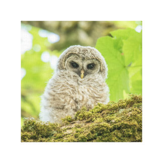 Baby Barred Owlet Canvas Print