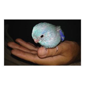 Baby Bird Pacific Blue Parrotlet Portrait Photo Print